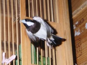 初代チモール文鳥の亡きチモ