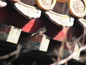 北京野鳥観察