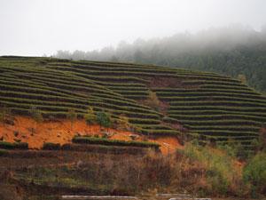 政和白茶の茶畑